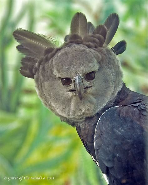 A Stern Look From The Harpy Eagle