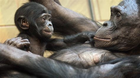 Move over, chimps: Bonobos might reveal more about human