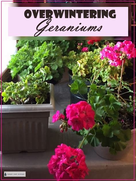 Overwintering Geraniums - tips and methods