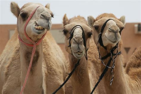 75% of Saudi Camels Carried Deadly Mers Virus for Two Decades