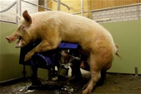 PigProgress - Achieving optimal conditions for boars