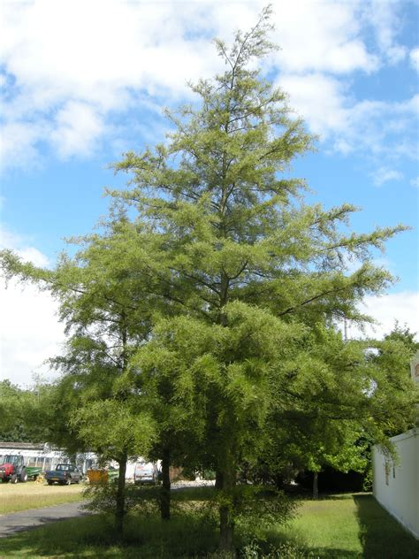 Alnus glutinosa 'Imperialis' | landscape architect's pages