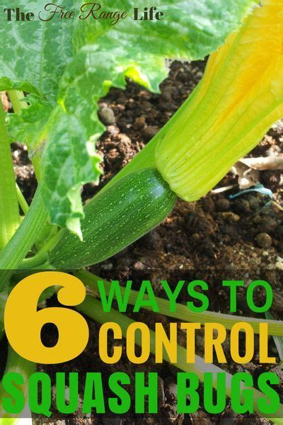 6 Ways to Get Rid of Squash Bugs in Your Garden- Naturally